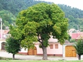 rasinari the perfect tree